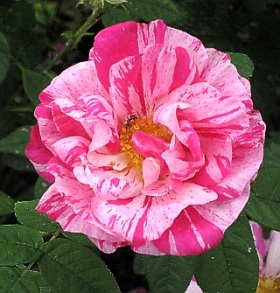 Rosa Mundi - shrub rose