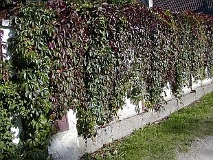 Popínavé rostliny na fasádu