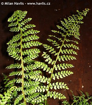 Polystichum setiferum 'Herrenhausen' - soft shield fern