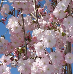 Prunus 'Accolade' - flowering cherry