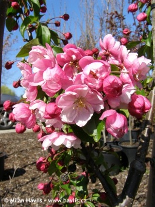 Malus 'Van Eseltine' - crab apple