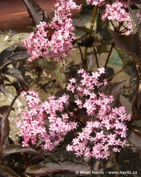 Sambucus nigra 'Black Beauty' - European elder