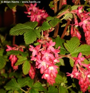 Ribes sanguineum 'King Edward VII' - flowering curran
