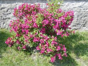 Weigela hybrida bristol ruby