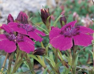 Dianthus pěstování