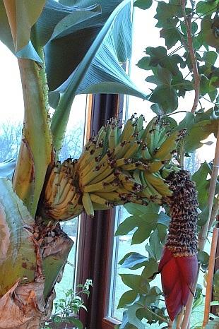 Banánovník musa