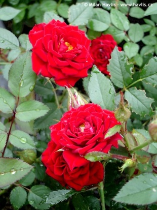 Rosa 'Dark Red' - rose