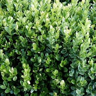 photo gallery buxus sempervirens suffruticosa 1 garden. Black Bedroom Furniture Sets. Home Design Ideas