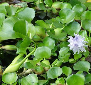 Vodní hyacint prodej