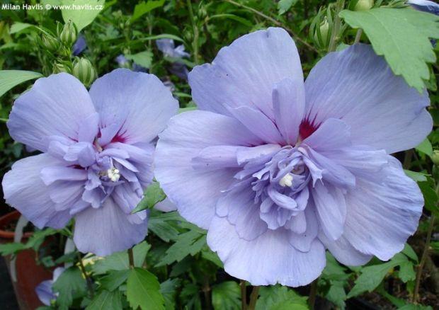 Photo Gallery: hibiscus syriacus 1 | Garden-en.com