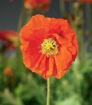 Papaver nudicaule 'Spring Fever' ™ - mák (CALENDAR-COLORS)