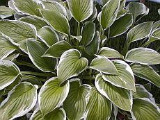 How to Plant Hostas?
