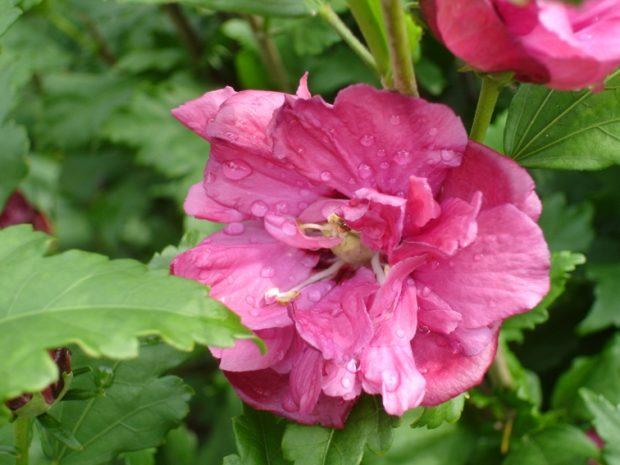 hibiscus syriacus duc de brabant rose of sharon. Black Bedroom Furniture Sets. Home Design Ideas