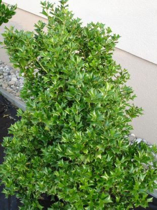 Ilex cornuta - chinese holly