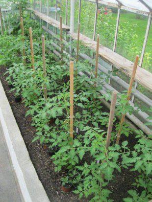 Odrudy rajčat