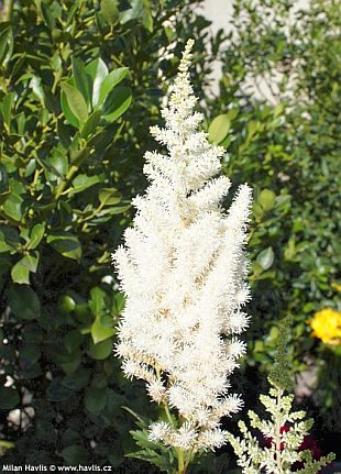 Astilbe chinensis 'Diamonds and pearls®' - čechrava