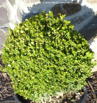 Buxus microphylla 'Faulkner' - box