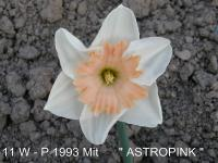 Narcis Astropink - Collar narcisy