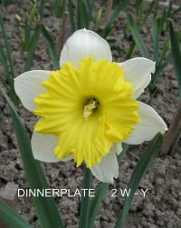 Narcis Dinnerplate