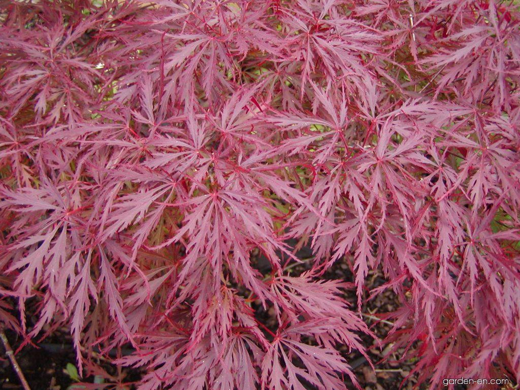 photo japanese maple dissectum atropurpureum leaves. Black Bedroom Furniture Sets. Home Design Ideas