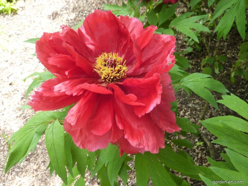 Pivoňka křovitá - květ (Paeonia suffruticosa)