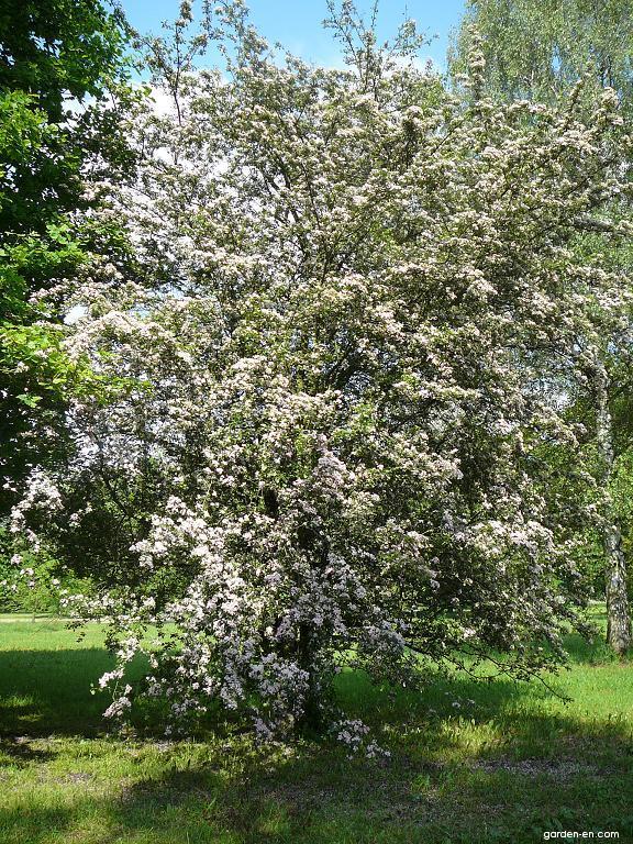 English Hawthorn Crataegus Laevigata Garden En Com