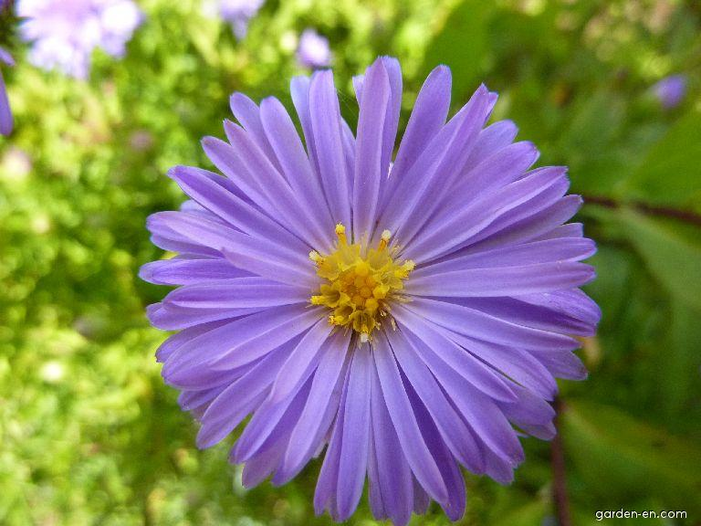 Aster dumosus Lady in Blue (Rice Button Aster)