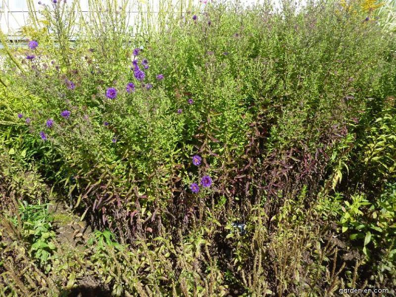 New England Aster - Symphyotrichum novae-angliae Bishop Colenso