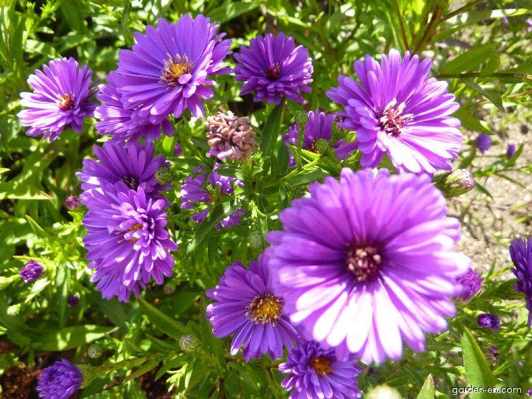 Hvězdnice novobelgická Richness - květ (Symphyotrichum novi-belgii)