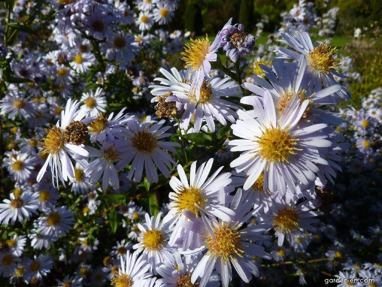 Hvězdnice novobelgická Sam Banham - květ (Symphyotrichum novi-belgii)