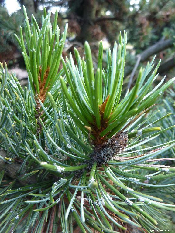 Rocky Mountains Bristlecone Pine - Pinus aristata