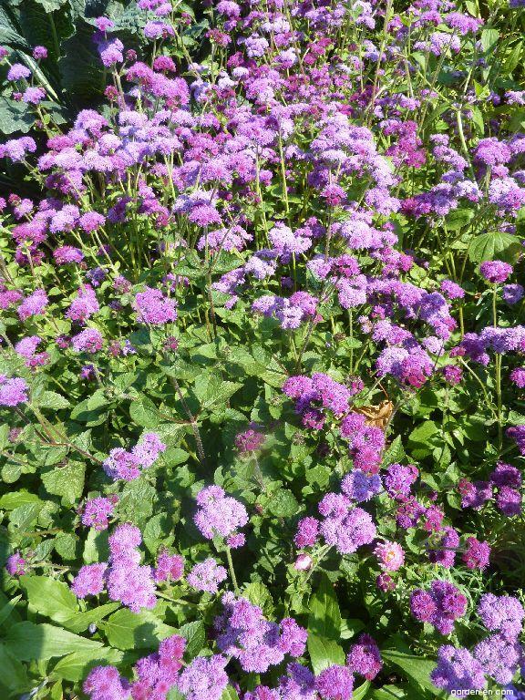 Flossflower - Ageratum houstonianum Basso Rose