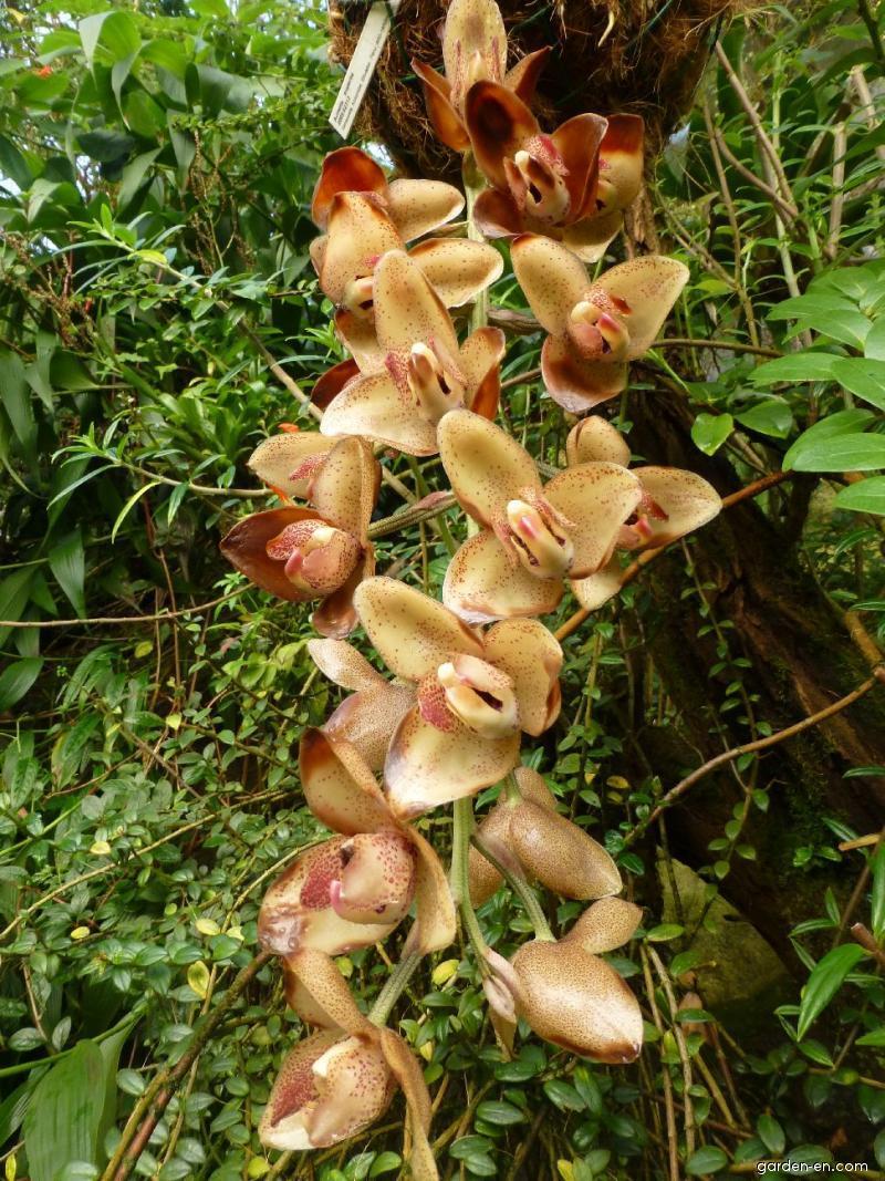 Acineta - květ (Acineta superba)
