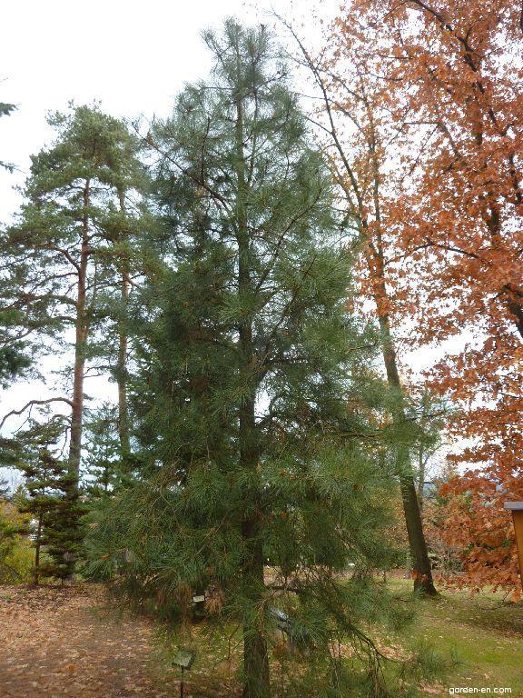 Ponderosa Pine - Pinus ponderosa