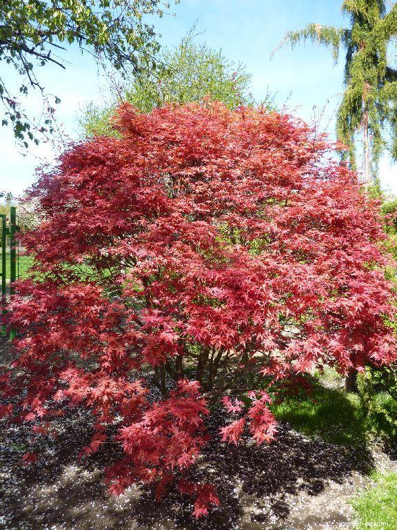 Japanese Maple Acer Palmatum Carminium Garden Encom