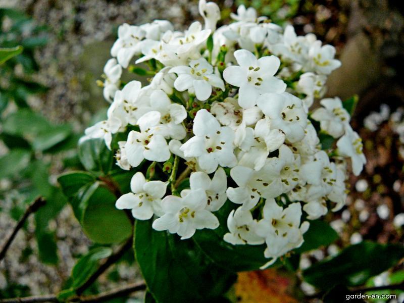 Kalina Burkwoodova - květ (Viburnum burkwoodii)