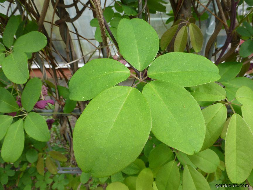 Five-leaf Akebia - Akebia quinata