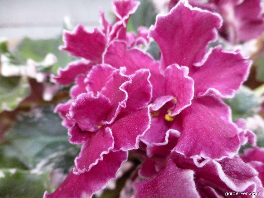 Africká fialka Cinnamon Girl - květ (Saintpaulia ionantha)