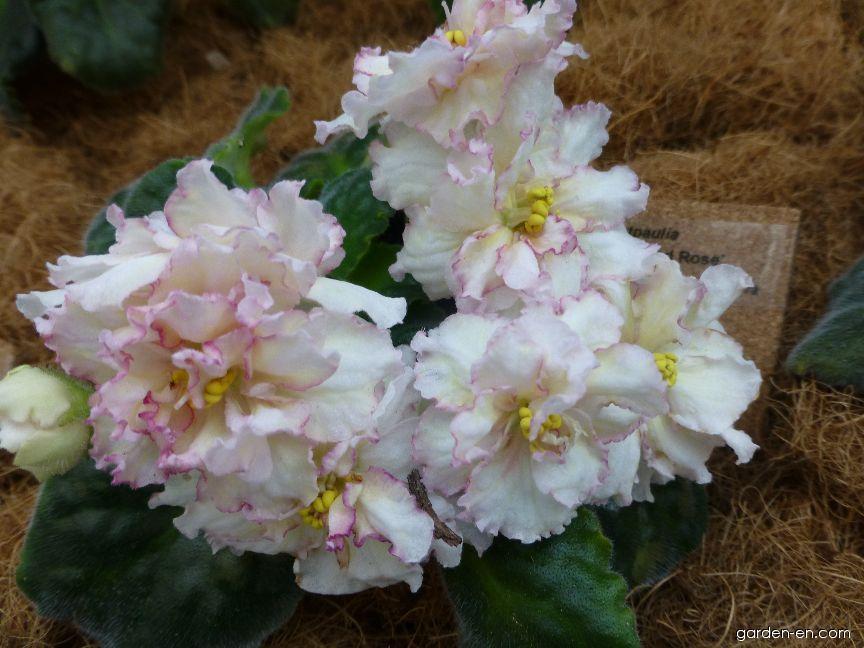 Africká fialka Sunkissed Rose (Saintpaulia ionantha)