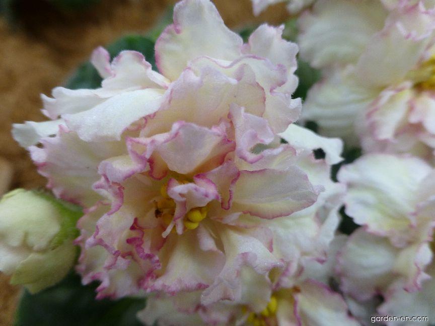 Africká fialka Sunkissed Rose - květ (Saintpaulia ionantha)
