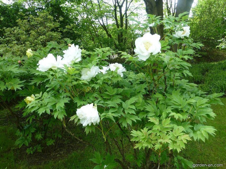 Moutan Peony - Paeonia suffruticosa Akemo-nonishiki