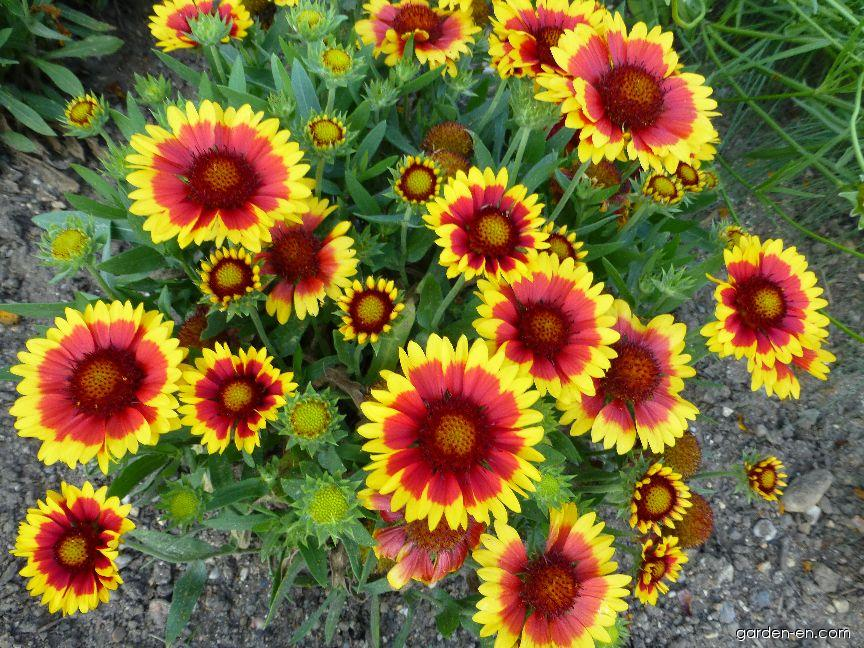 Gailliardia - Gaillardia aristata Arizona Sun
