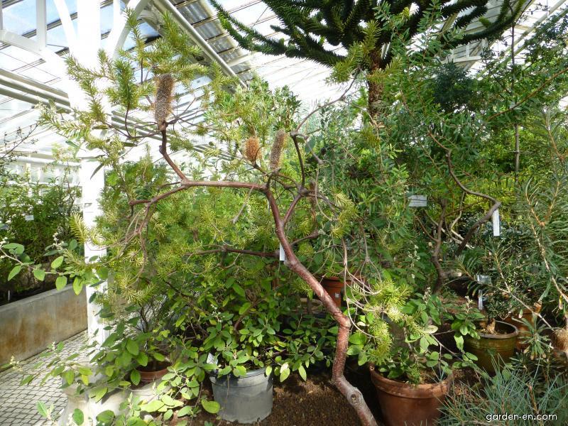 Banksie (Banksia ericifolia)