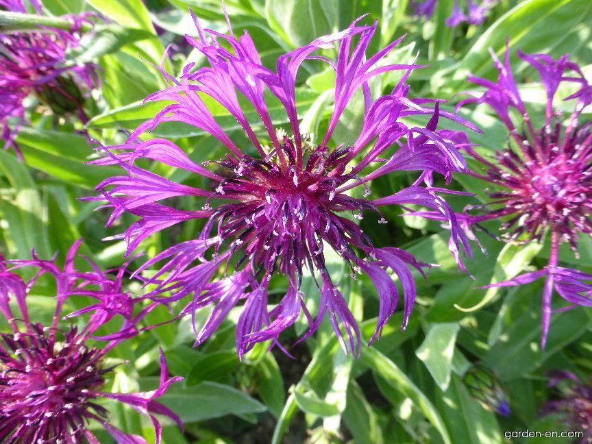 Chrpa horská Purple Rose (Centaurea montana)