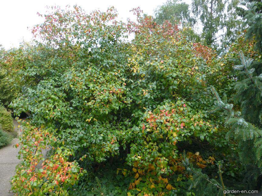 Kalina Burkwoodova (Viburnum burkwoodii)
