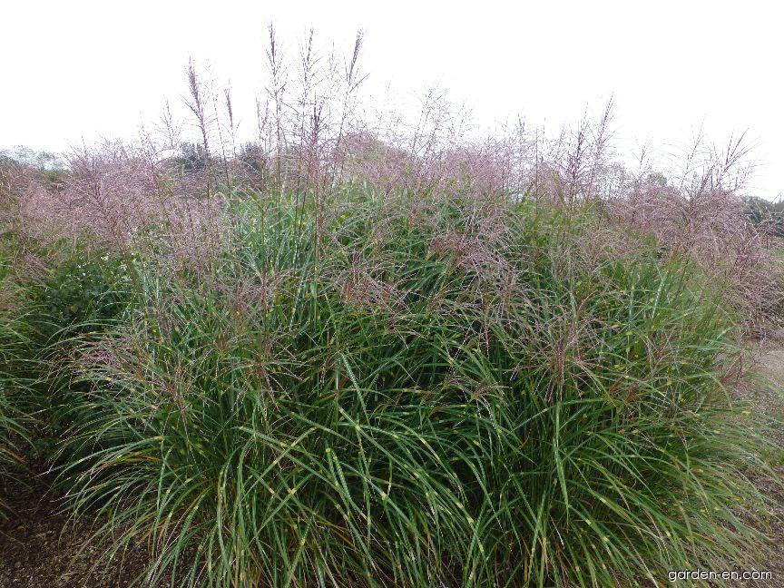 susuki grass miscanthus sinensis puenktchen garden. Black Bedroom Furniture Sets. Home Design Ideas
