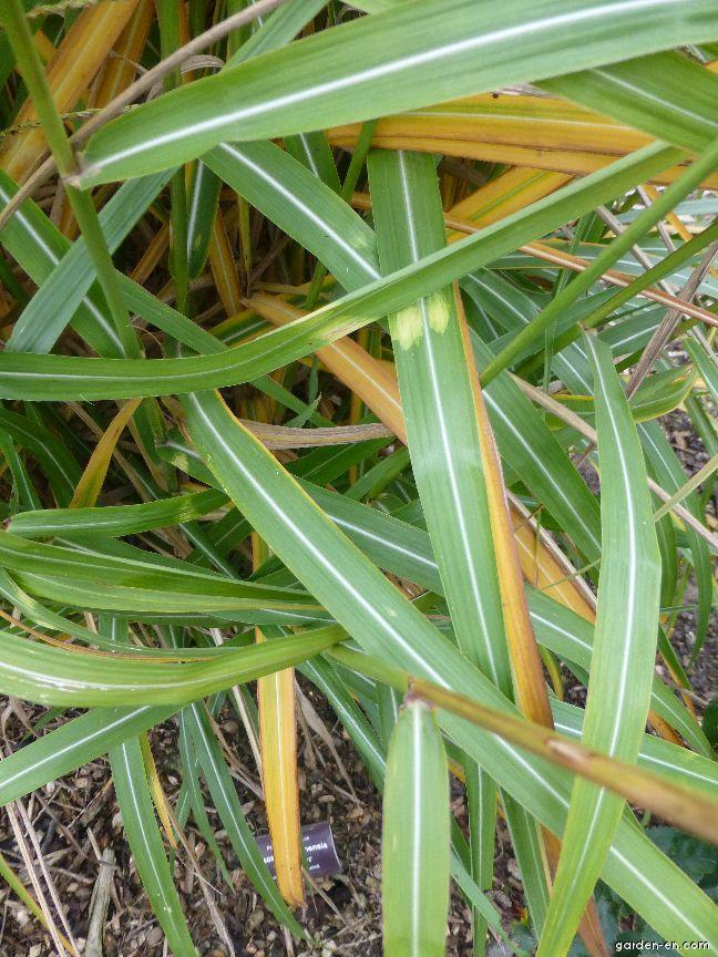 Chinese Silver Grass - Miscanthus sinensis Zweizebri