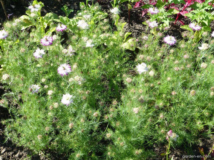 Černucha damašská Mulberry Rose (Nigella damascena)
