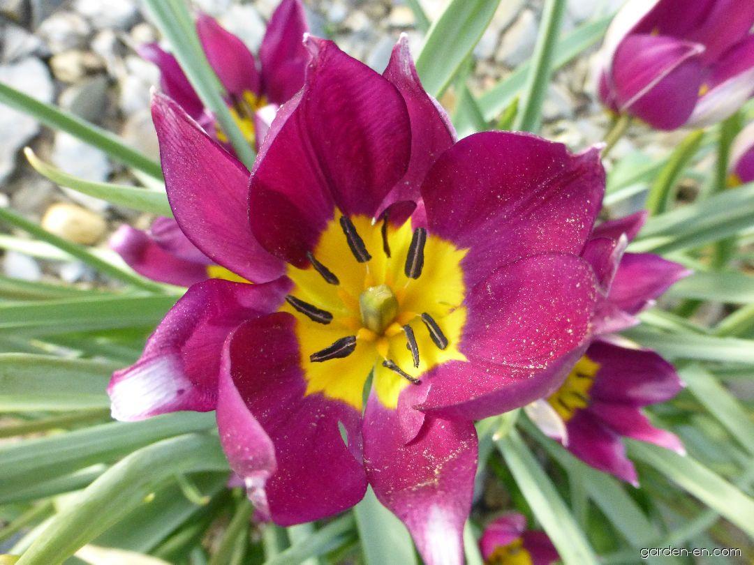 Tulip - Tulipa humilis var. pulchella Persian Pearl