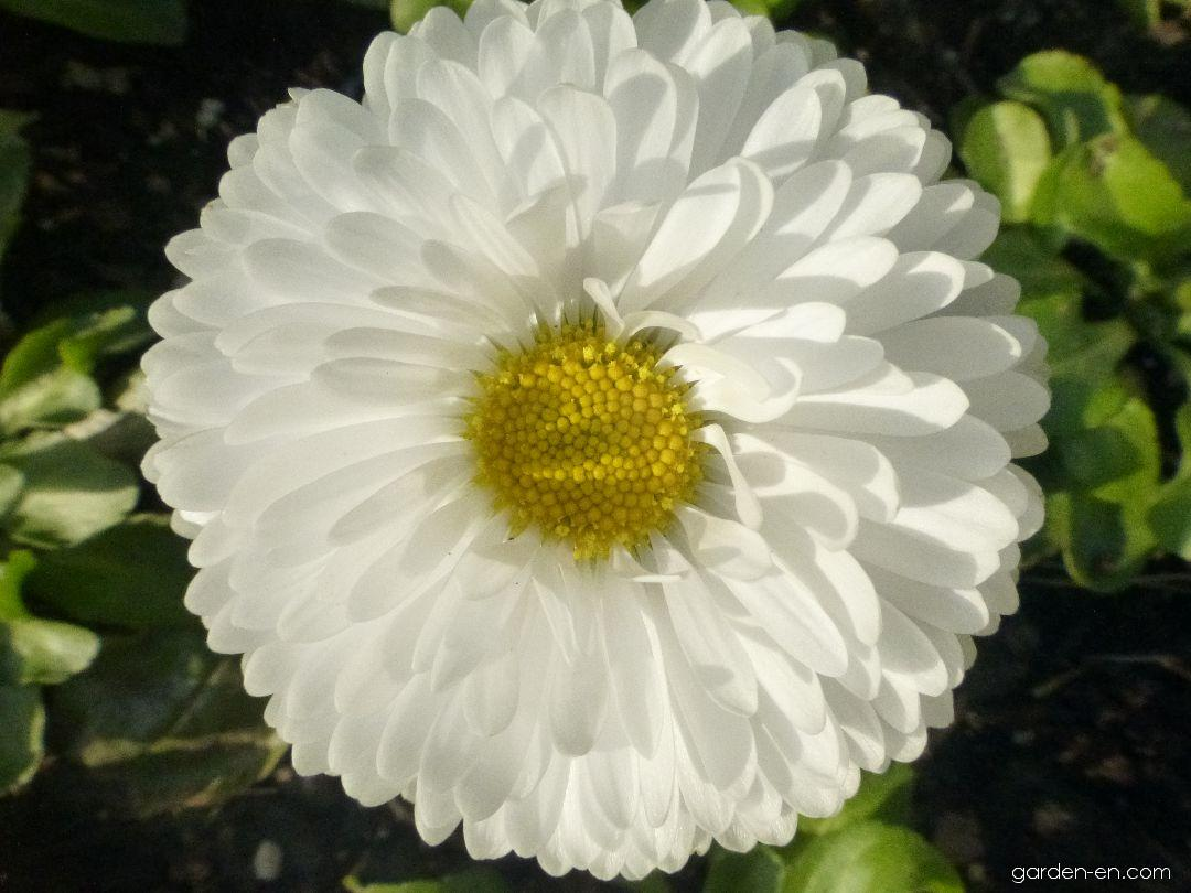 English Daisy - Bellis perennis Roggli White